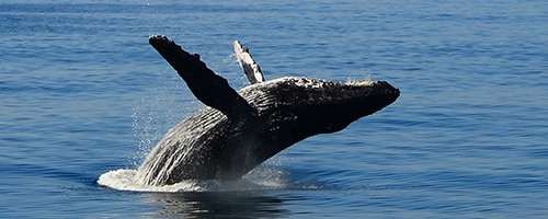SOH-Early-Bird-Whale-Watch-Breach